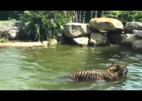 Утка дражнит тигра